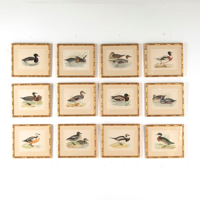 Set of 12 Engravings of Ducks WD609560
