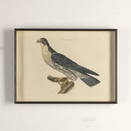 18th Century Engraving of a Falcon WD7612476