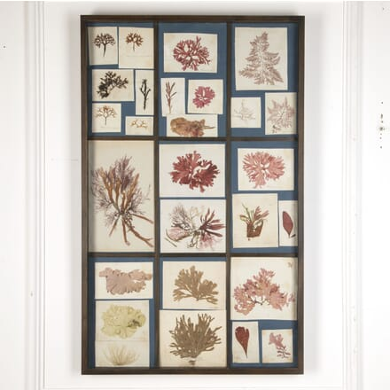 19th Century British Seaweed Specimens DA7613290