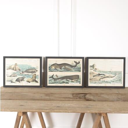 Set of 19th Century Marine Mammal Prints WD9016844