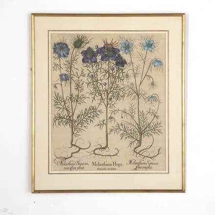 Basilius Besler Print of Melanthium Hispa (Nigella) WD6013258
