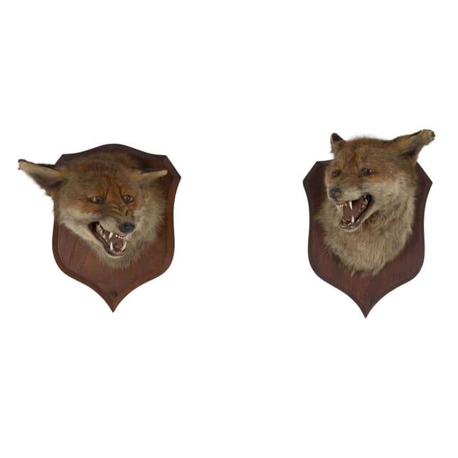 Pair of Taxidermy Foxes DA106544