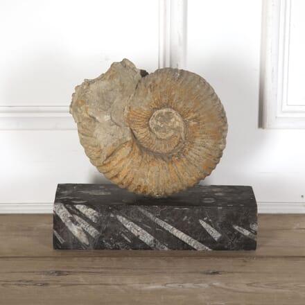 Moroccan Ammonite Fossil DA289157