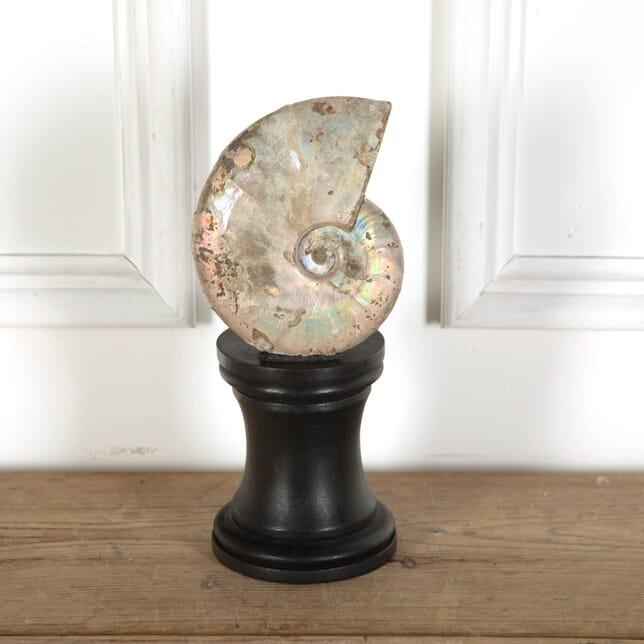 Ammonite Fossil DA7611397