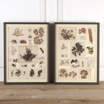 Pair of Framed Seaweed Collections DA5116186