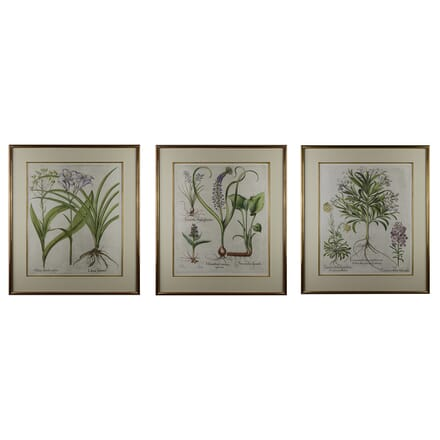 Collection of Three Basilius Besler Engravings WD6015130