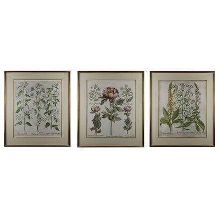 Collection of Three Basilius Besler Engravings WD6015129