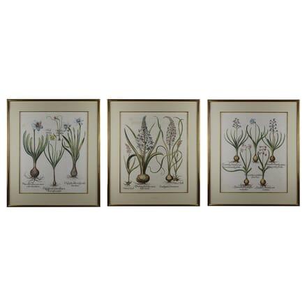Collection of Three Basilius Besler Engravings WD6015131