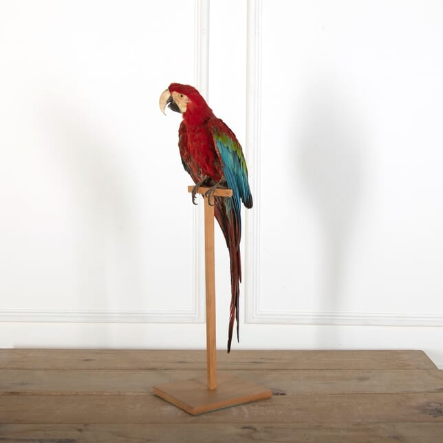 Taxidermy Green Winged Macaw DA7260421