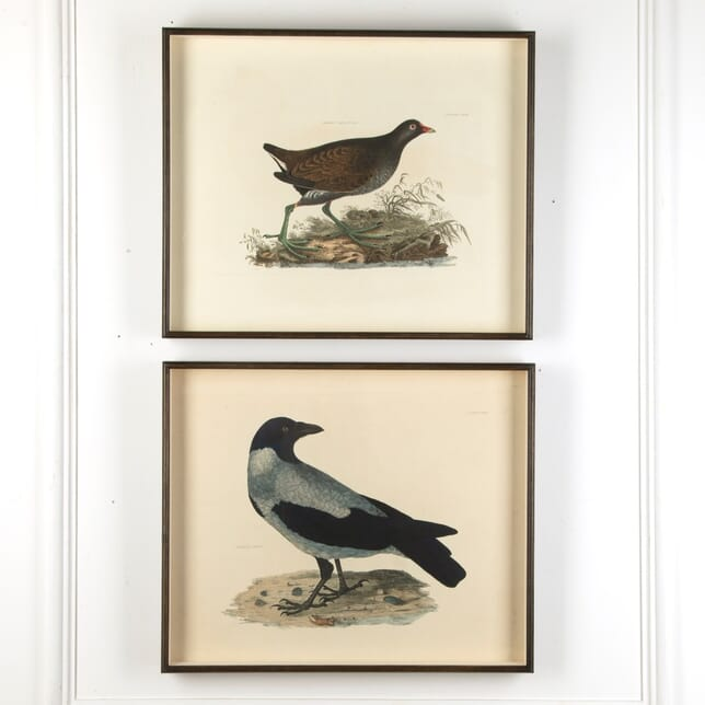 19th Century Large & Fine Hand Coloured Copper Plate Engravings of Birds WD7611063