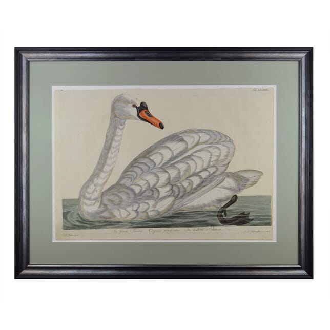 18th Century Hand-Coloured Swan Engraving WD6014854