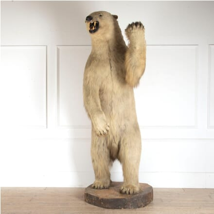 Rowland Ward Taxidermy Polar Bear DA0912659