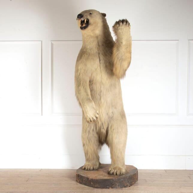 Rowland Ward Taxidermy Polar Bear DA0912659