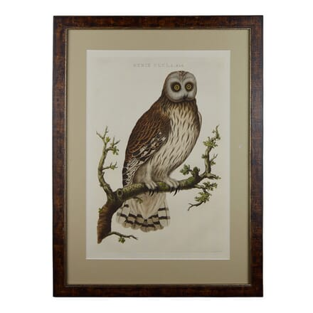 18th Century Engraving of an Owl by Nozeman WD6016835