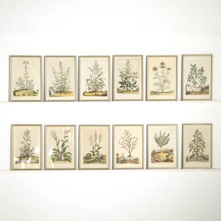 Original Abraham Munting Botanical Engravings WD6155284