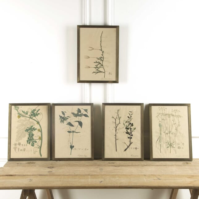 Set of 19th Century Botanical Lithographs WD209791