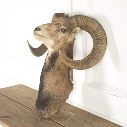 Taxidermy Shoulder Mount of European Mouflon Ram DA8014327