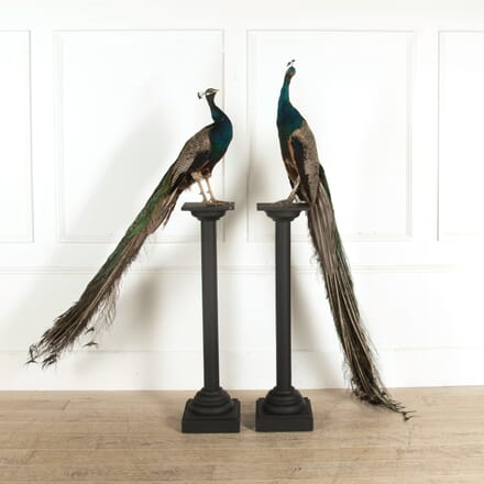 Pair of Mounted Peacock Taxidermy DA998952