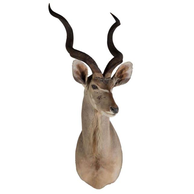 Early 20th Century Lesser Kudu DA139450
