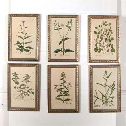 18th Century Curtis Botanicals WD607005
