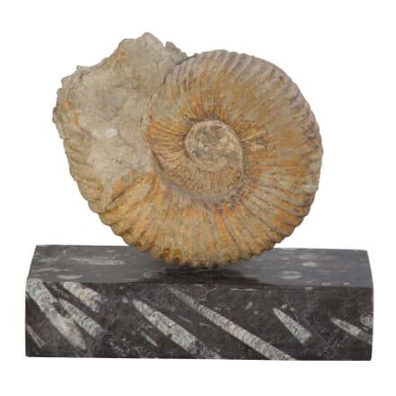 Ammonite Fossil DA289157
