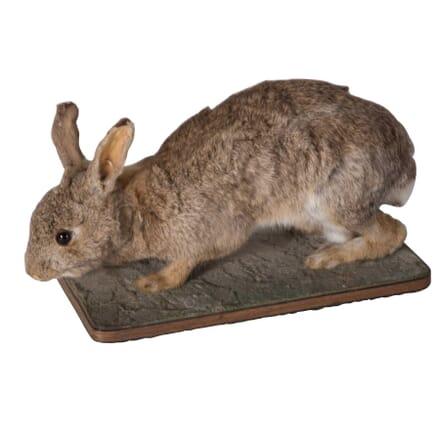 Taxidermy Rabbit DA5558769