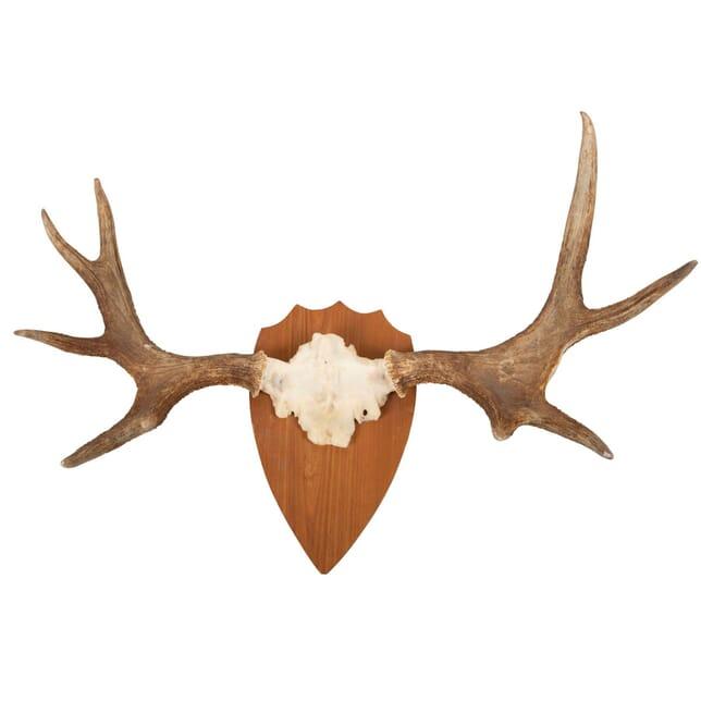 Mounted Elk Horn DA9960764