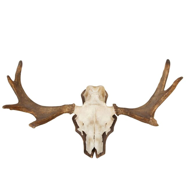 Mounted Elk Horn DA9960765