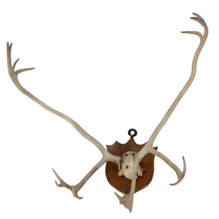 Large Stag Antler Trophy DA159984