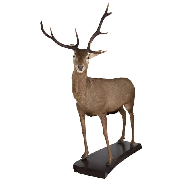 Taxidermy Deer DA113602