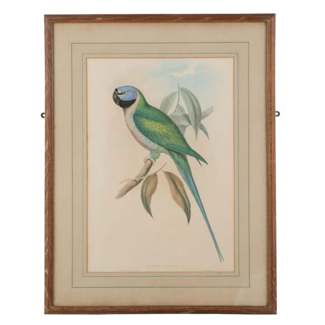Vibrant coloured green parrot hand coloured engraving. WD289198