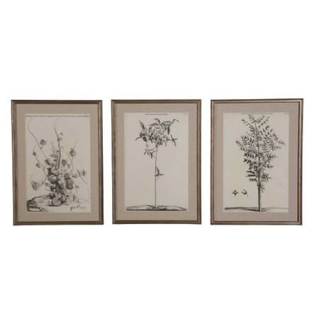 Set of 17th Century Botanical Engravings by Jan Commelin WD6158863