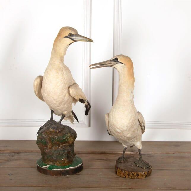 Pair of Gannets DA5561770